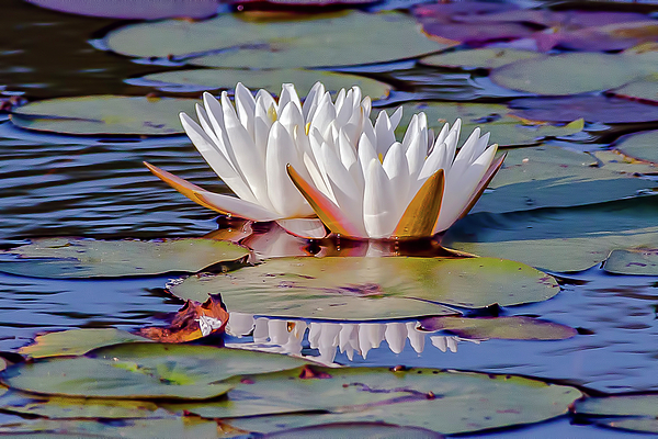 Morris Finkelstein - White Water Lily Reflections