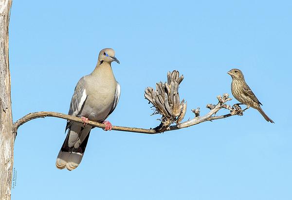 Judi Dressler - White Winged Dove with Finch