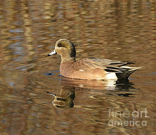 Marv Vandehey - Wigeon Winter Reflections