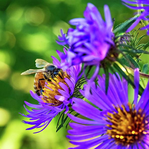 Steve Harrington - Wild Aster And Honey Bee