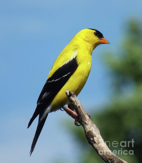 Cindy Treger - Wild Canary - American Goldfinch