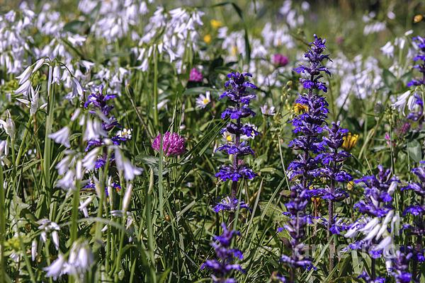 Patricia Hofmeester - Wild flowers