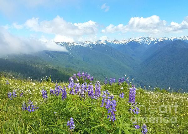 Jane Powell - Wild lupines in Hericane Ridge 2