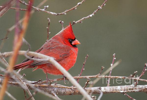 David Cutts - Winter Cardinal