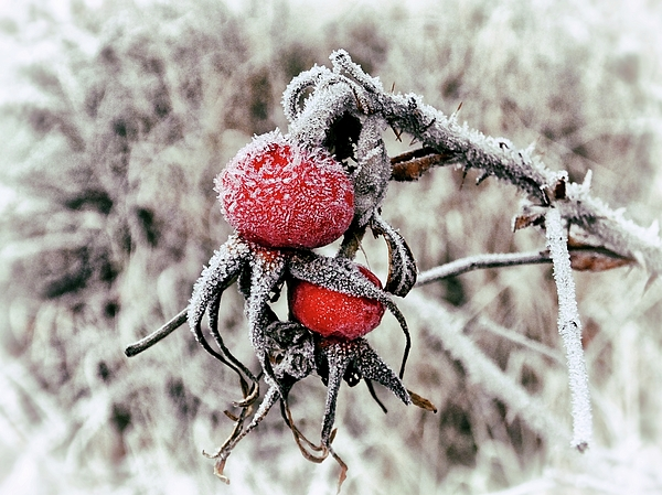 Karen Stahlros - Winter Rosehips