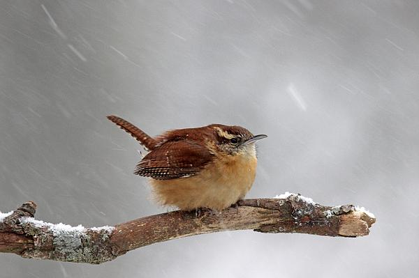 Sue Feldberg - Winter Wren