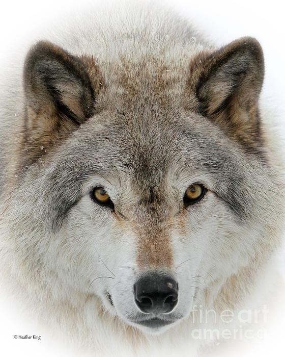 Heather King - Wolf Portrait