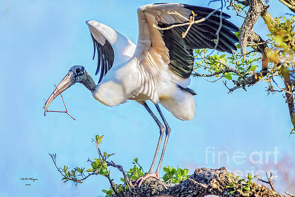 Bill And Deb Hayes - Wood Stork - Nest Builder