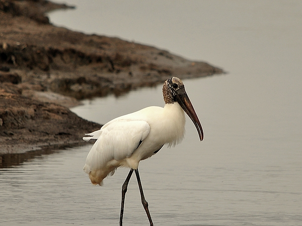 Al Powell Photography USA - Wood Stork Walking