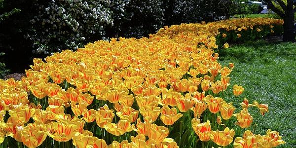 Deepa Sahoo - Yellow Beauties