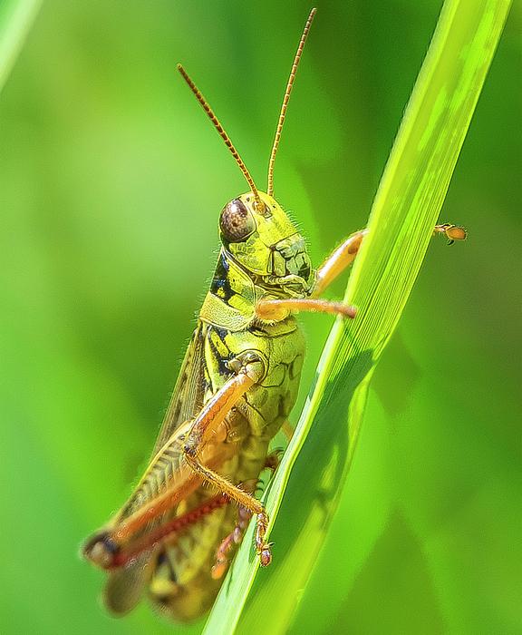 Barbara Molocznik - Yellow Grasshopper