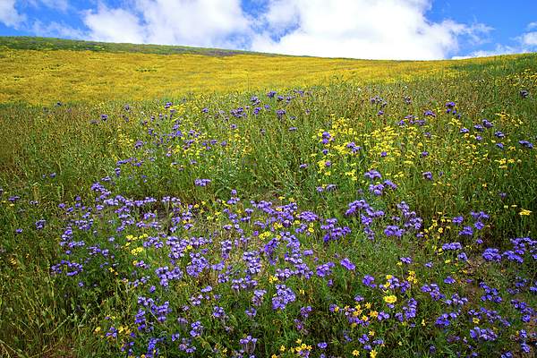 Lynn Bauer - Yellow Daisies and Purple Phacelia on the Carrizo Plain - Superbloom 2017