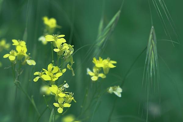 Irina Safonova - Yellow Modest Florets And Spikelets