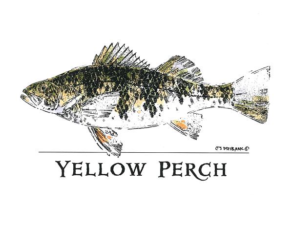 Chris Pribanic - Yellow Perch