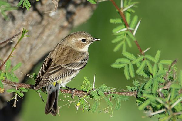 Debra Martz - Yellow-rumped Warbler  in the Greenery