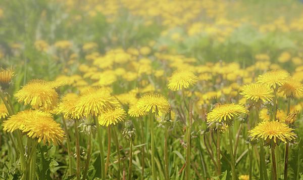 Anna Matveeva - Yellow sea of dandelions.