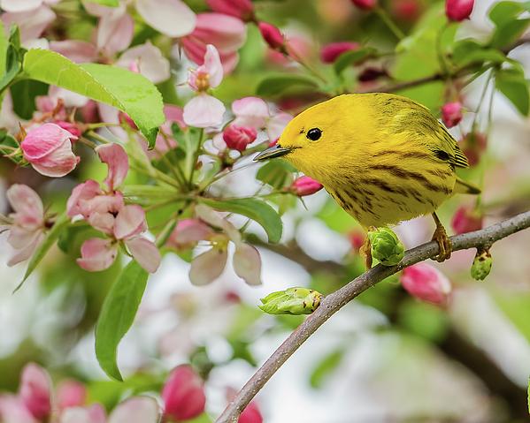 Morris Finkelstein - Yellow Warbler In An Apple Tree