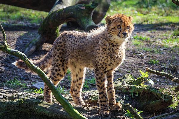 Tim Abeln - Young cheetah portrait