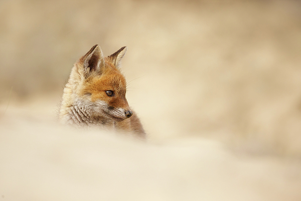 Roeselien Raimond - Young Fox Series -  Contemplating Cub