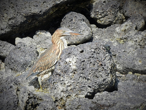 Rhonda Allbrandt - Young Galapagos Heron