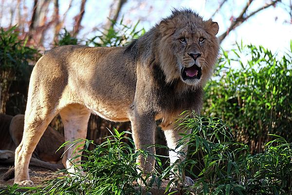 Ronda Ryan - Young Male Lion