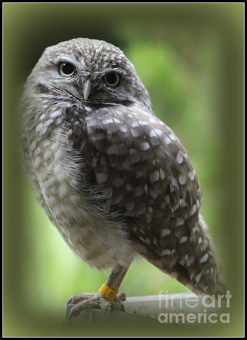 Dora Sofia Caputo Photographic Design and Fine Art - Young Snowy Owl