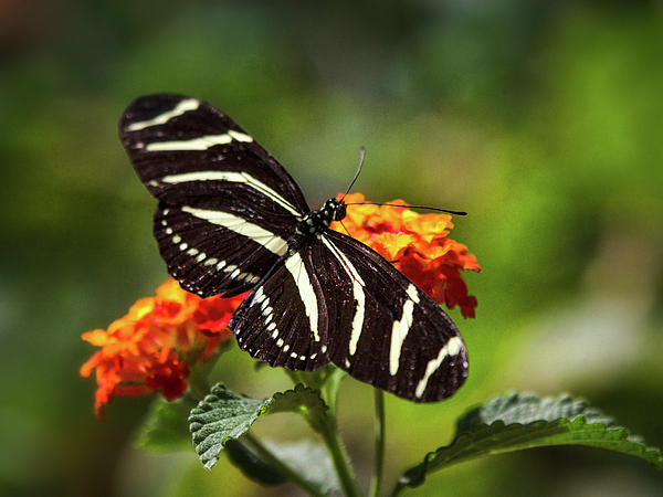 Saija Lehtonen - Zebra Longwing Butterfly Atop Lantana