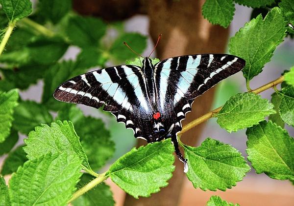 Ronda Ryan - Zebra Swallowtail
