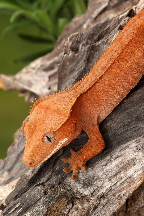 Crested Gecko Correlophus Ciliatus IPhone 11 Pro Max Case