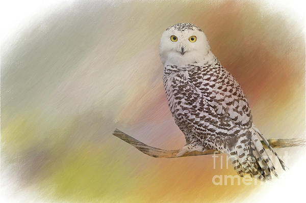 Jim Hatch - Snow Owl