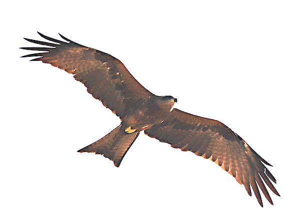 Nick Photography - A hawk in flight