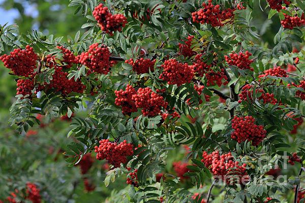 Esko Lindell - Abundant berry harvest