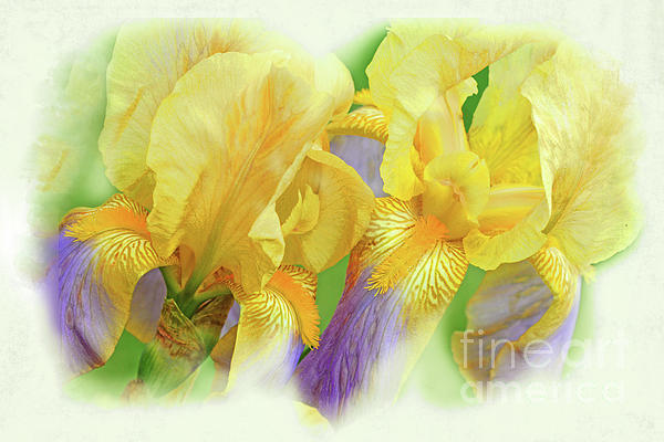 Regina Geoghan - Amenti Yellow Iris Flowers