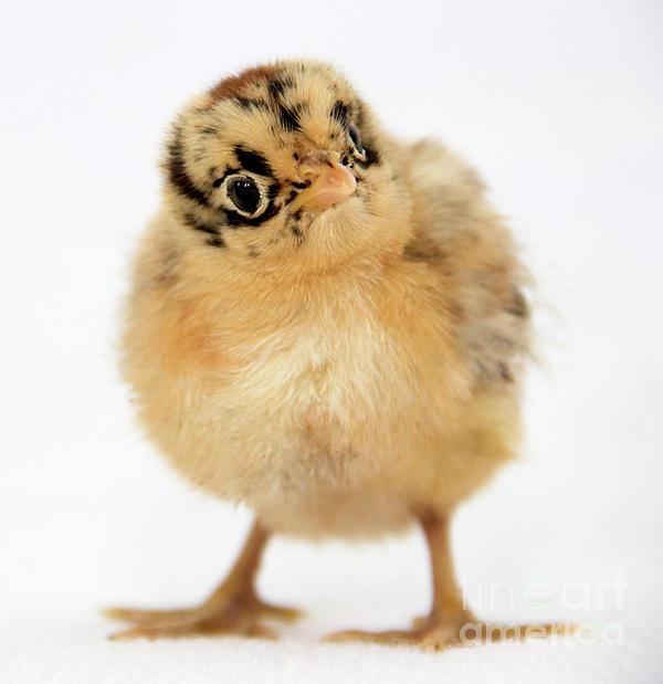 Jeannette Hunt - Baby Chicken Portrait