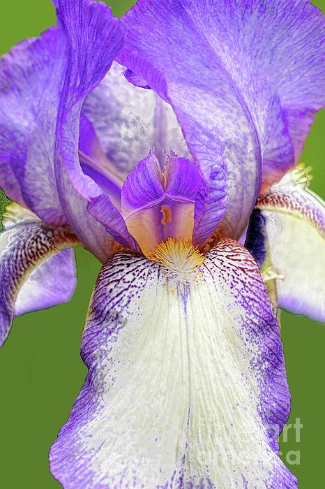 Bearded Iris Acropole Fleece Blanket For Sale By Regina Geoghan