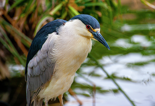 Anthony Jones - Black Crowned Night Heron closeup