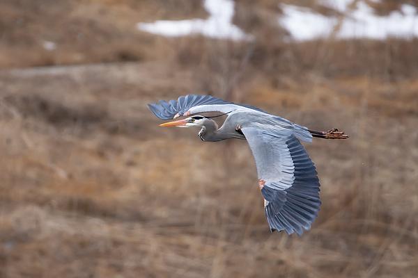 Judy Tomlinson - Blue Heron Flying 01