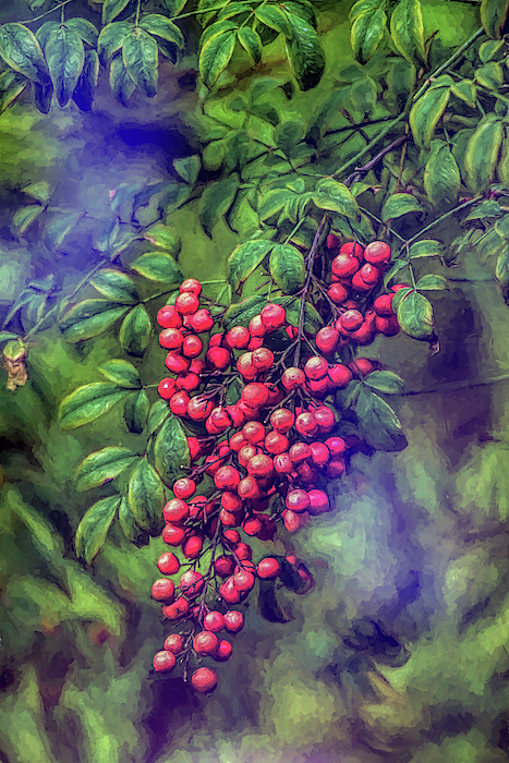 Linda Brody - Bright Red Nandina Berries on Green Leaves Abstract Impression 3
