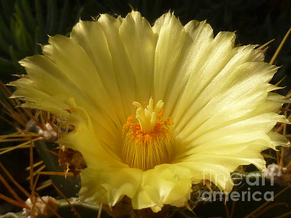 Lingfai Leung - Cactus Flower Macro