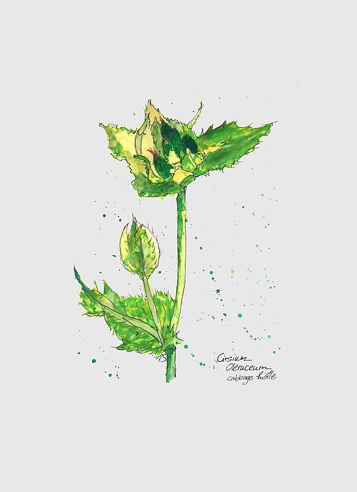 Cirsium Oleraceum Painting