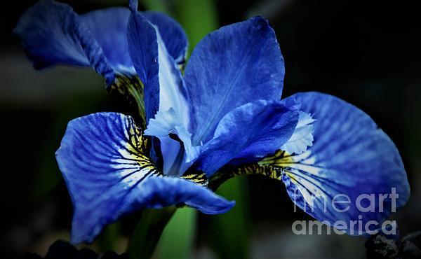 Suzanne Wilkinson - Dark Blue Iris Blossom