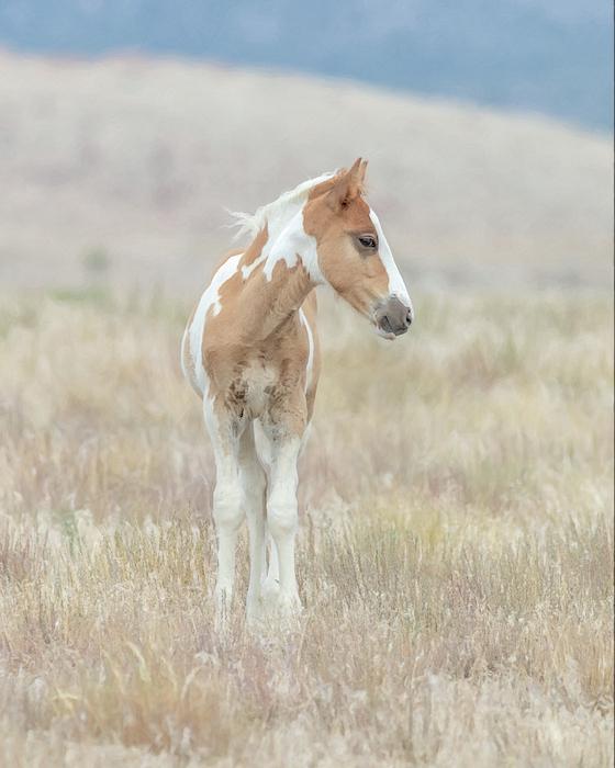 Kelly Lynn - Future stallion of the Onaqui herd