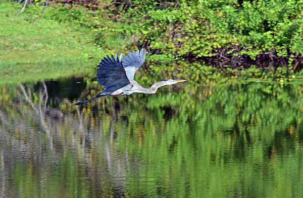 William Tasker - Great Blue Flees Across The Pond