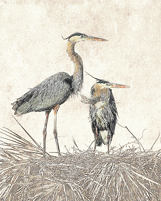Dawn Currie - Great Blue Heron Couple - Photographic Drawing