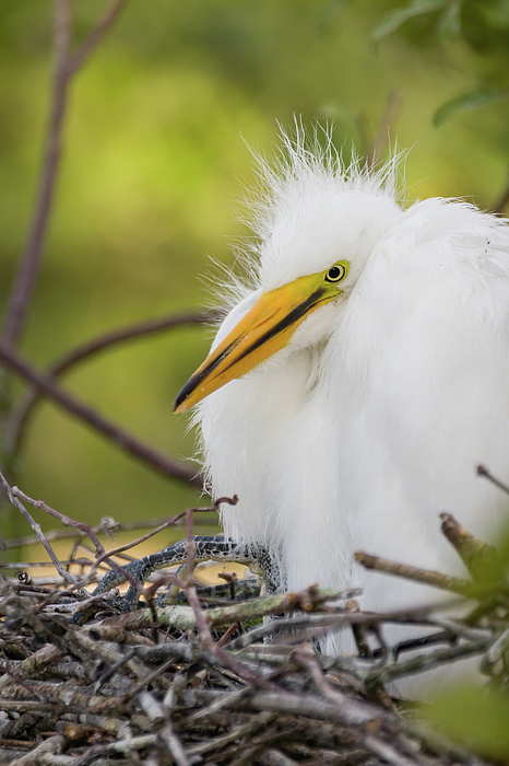 Dawn Currie - Great Egret Chick