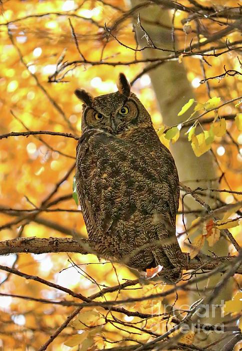 Carol Groenen - Great Horned Owl in Autumn Tree