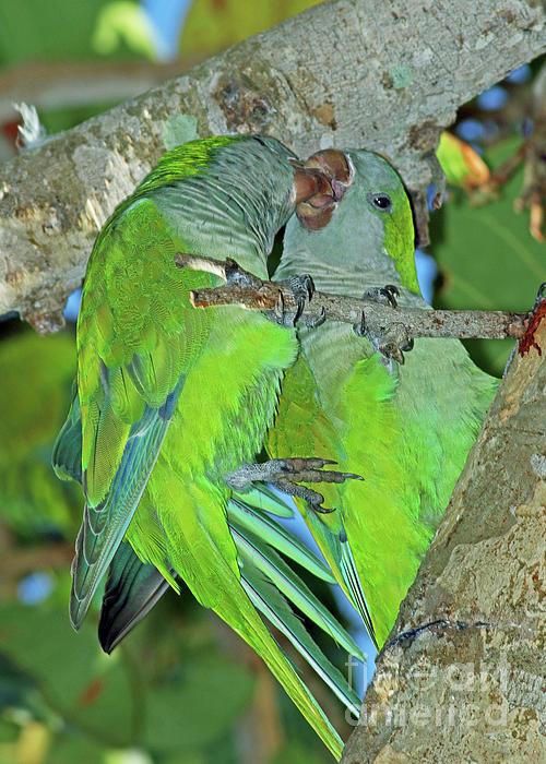 Larry Nieland - Lovebirds - Monk Parakeets