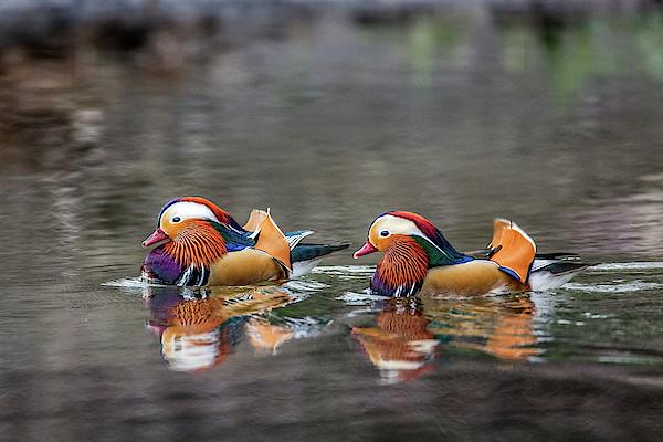 Kelly Lynn - Mandarin Ducks