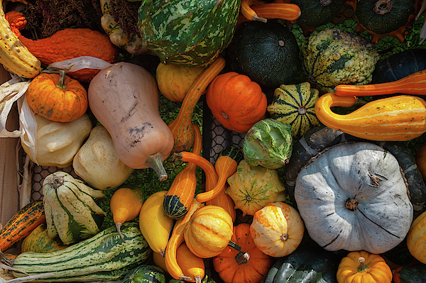 Jenny Rainbow - Mix of Ripe Orange, Yellow, Green Pumpkins, Squash, Gourds