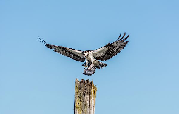 Marv Vandehey - Osprey Landing with Flatfish